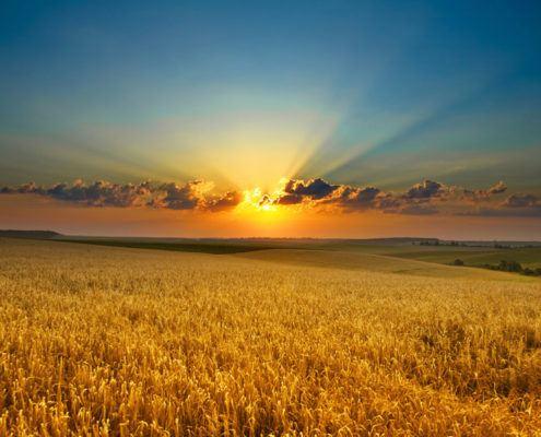 Graanveld met ondergaande zon